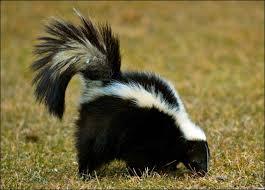 skunk-eating